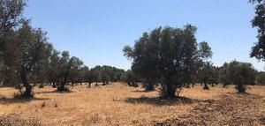 Punto de inflexión en la olivicultura internacional: en 2019 se abandonaron alrededor de 210.000 hectáreas