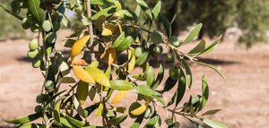 Técnicas de biocontrol y big data para combatir las plagas del olivo