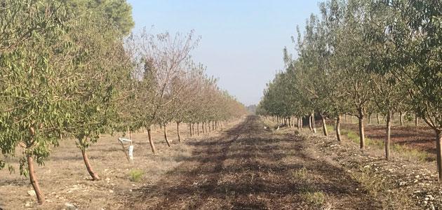 El almendro reduce la histórica tendencia de crecimiento de la olivicultura