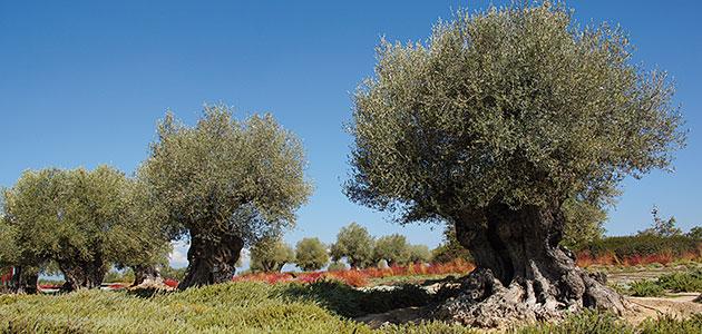 """El """"Modelo Santander"""" de determinación de la edad de olivos monumentales"""