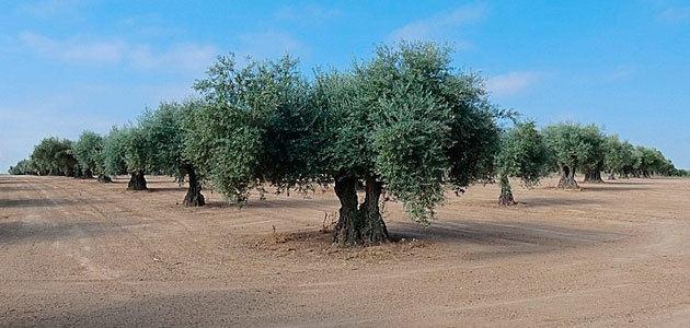 El laboreo mínimo, la técnica de mantenimiento del suelo más utilizada en olivar