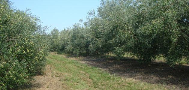 Uruguay registra una buena campaña de aceite de oliva en 2019 con una cosecha récord